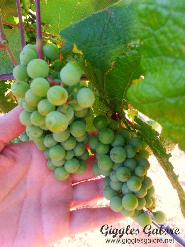 Grapes on Vine in Hand