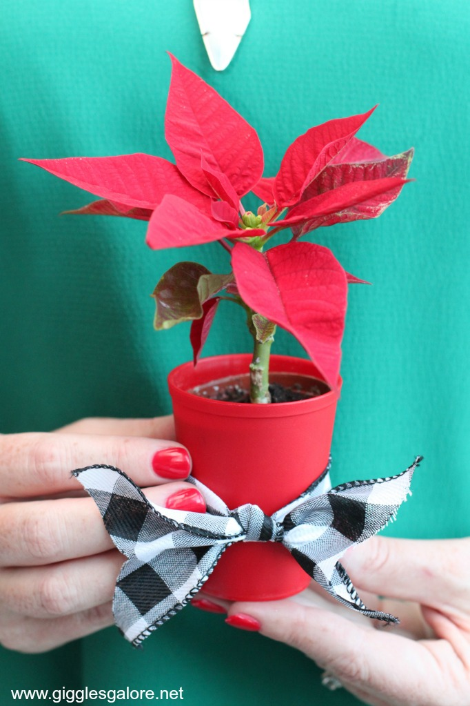 Mini poinsettias holiday gift